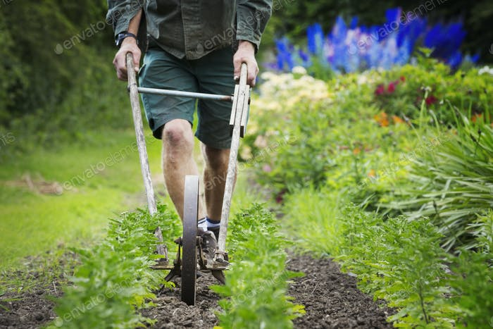 A man using a wheel hoe to hoe between rows of small flower plants in a garden.