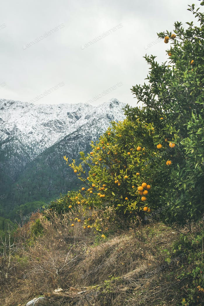 Trees with wild ripe oranges and snowy mountains, Alanya, Turkey
