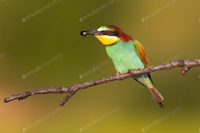 Colorful european bee-eater sitting on branch in summer with insect in beak