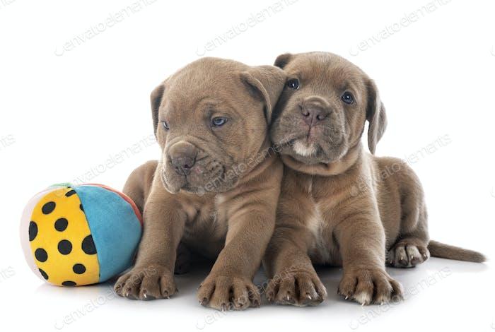 puppies cane corso