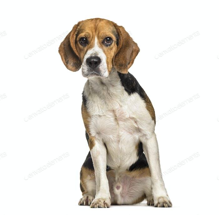 Beagle dog , 2 years old, sitting against white background