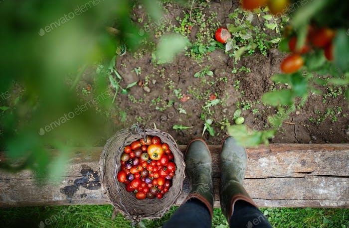 Unerkennbares Kind mit Kirschtomaten im Garten, nachhaltiges Lifestyle-Konzept