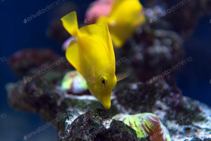 Zebrasoma Fische und Korallen im Aquarium