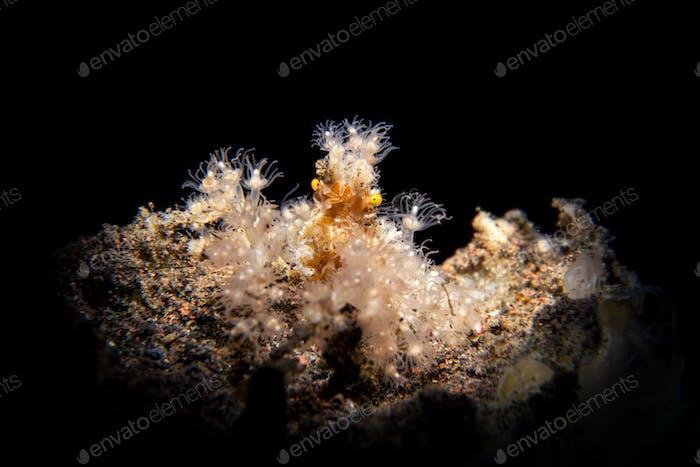 Hairy decorator crab