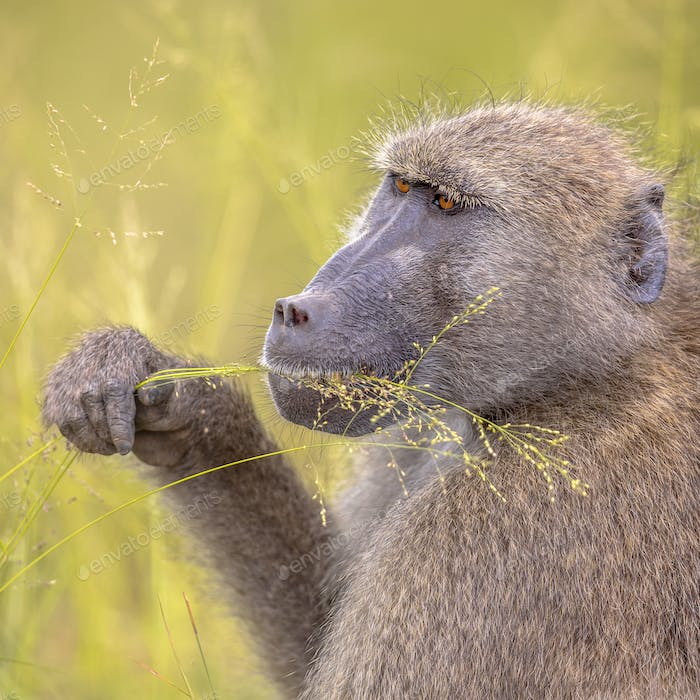 Chacma baboon feeding on grass seeds insta