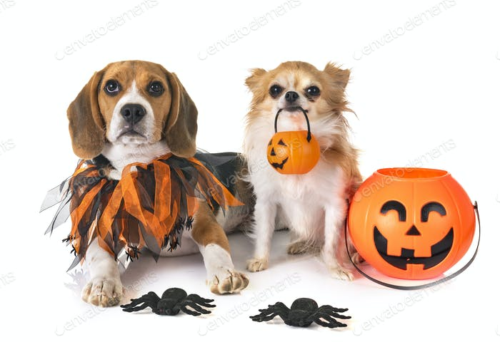 puppy beagle and chihuahua