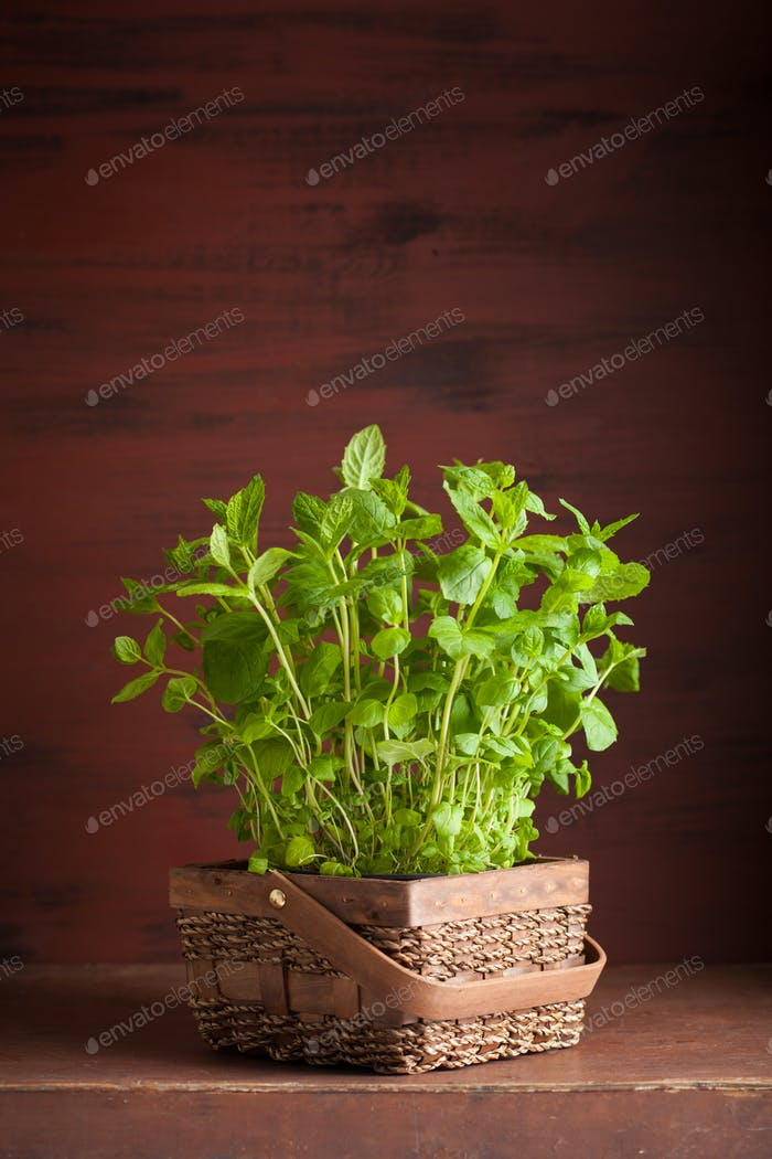 fresh mint Peppermint herb in a pot