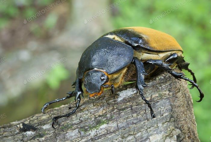 Hercules Beetle, Female, in Costa Rica