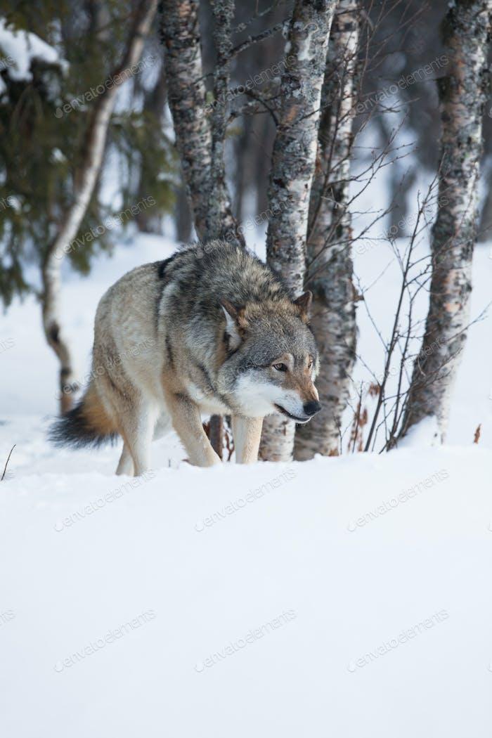 Ein Wolf schleichend im Wald