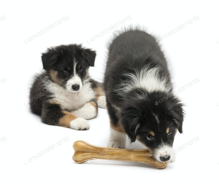 Two Australian Shepherd puppies, 2 months old,  one watching other