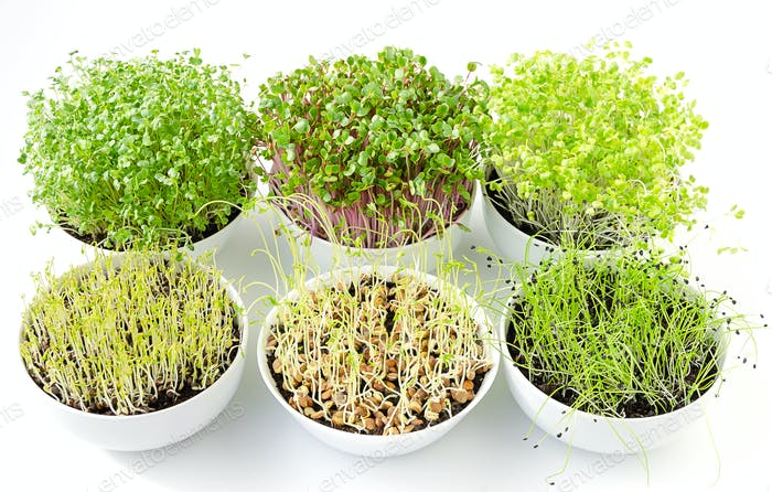 Six microgreens sprouting in white bowls, from above