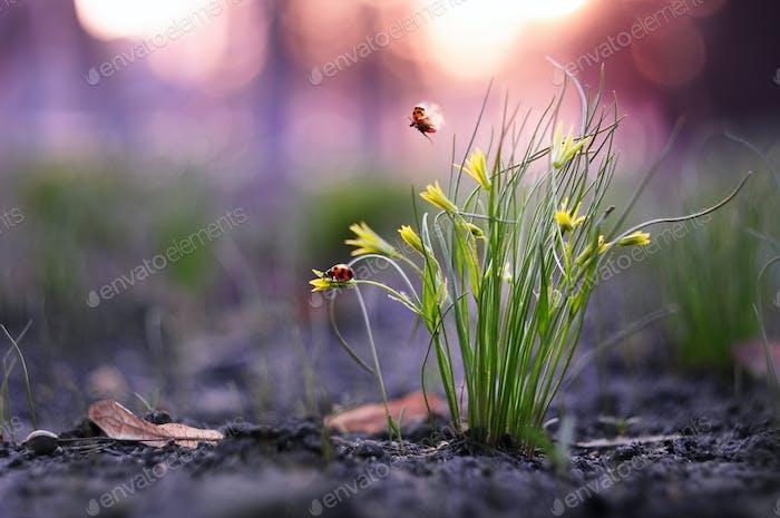 Zwei kleine Marienkäfer nehmen aus dem Grasbusch ab