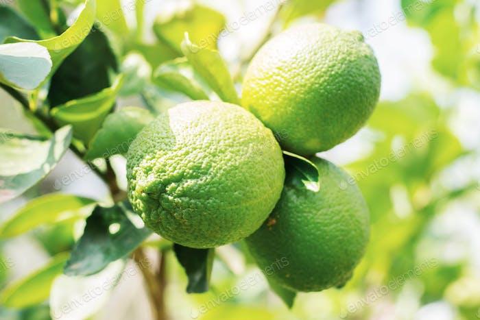 Fresh lemons with daylight
