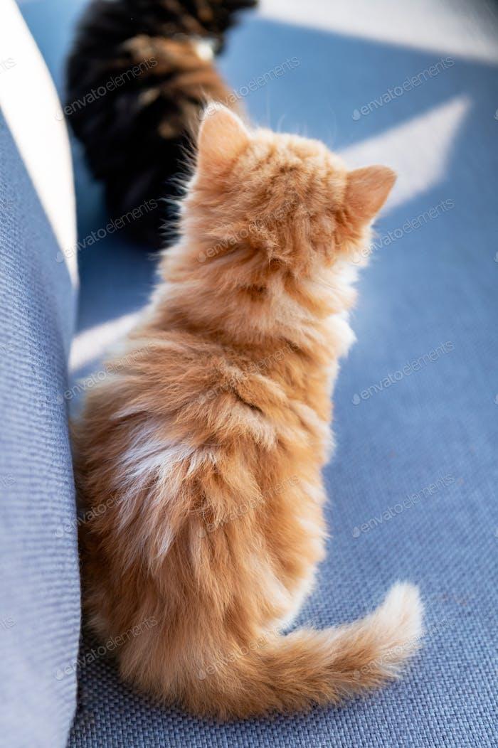 Cute ginger long haired kitten