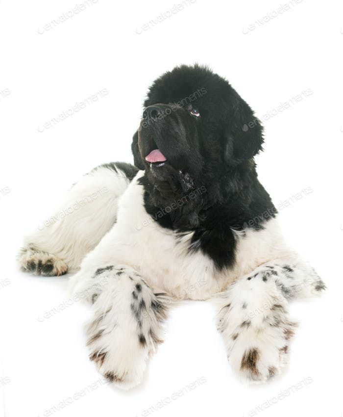 black and white newfoundland dog