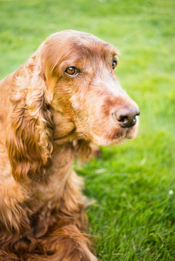 Purebred Irish Setter Dog Canine Pet Laying Down