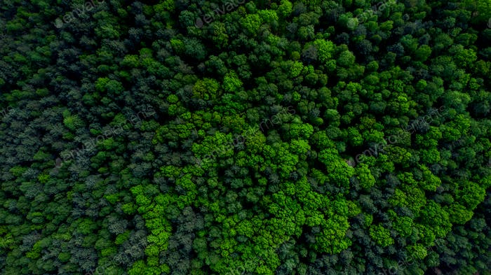 Pine Tree Woodland Aerial Drone View