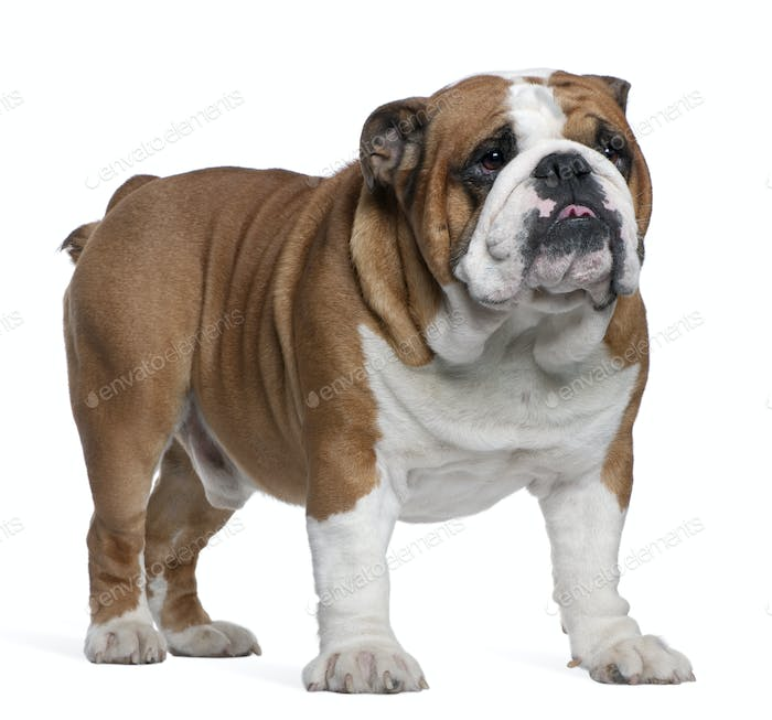English Bulldog, 2 years old, standing in front of white background
