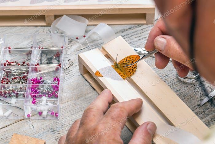 Pinning wild butterflies