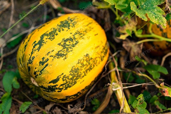 Pumpkin growing on a field closeup