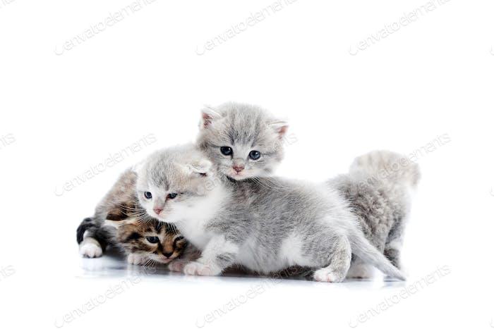 Graue blauäugige kleine flauschige Kätzchen spielen und springen aufeinander, einer schaut auf den Sid