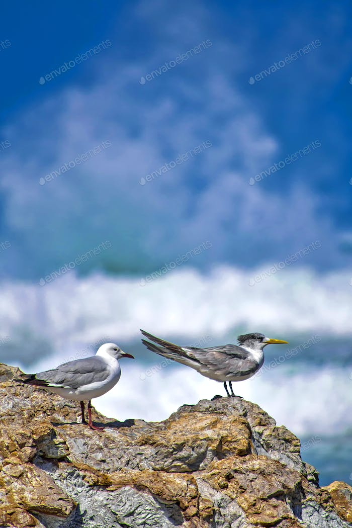 Greyheaded Gull and Greater Crested Tern, Walker Bay Nature Reserve, South Africa