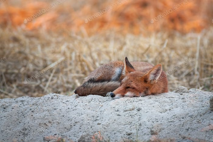 Lovely red fox sleeping at sunrise with first sun rays shining on background