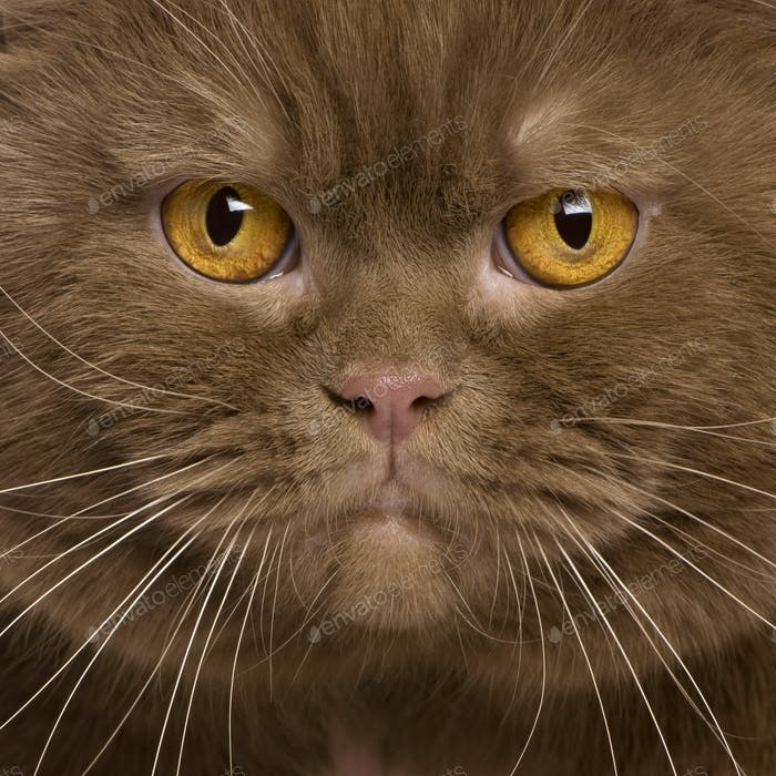 Close-up of British shorthair cat, 2 years old