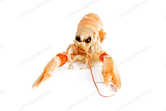 prawn isolated