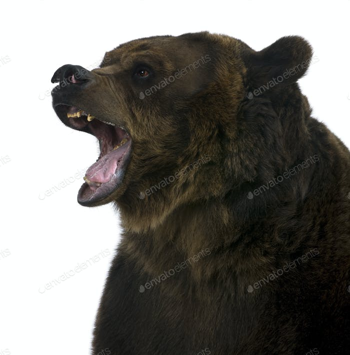 Grizzly bear, 10 years old, growling in front of white background