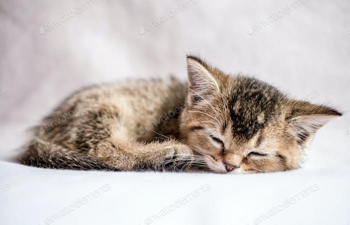 Pretty kitten British golden chinchilla sweetly sleeps