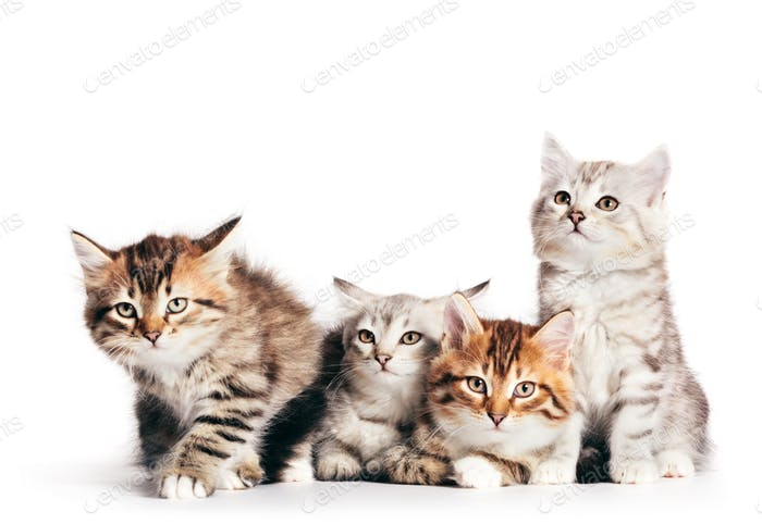 Siberian cats, cute kittens from same litter isolated on white