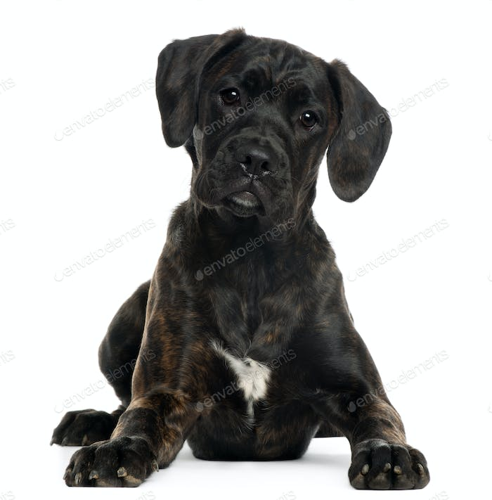 Mixed-breed puppy, 4 months old, lying in front of white background