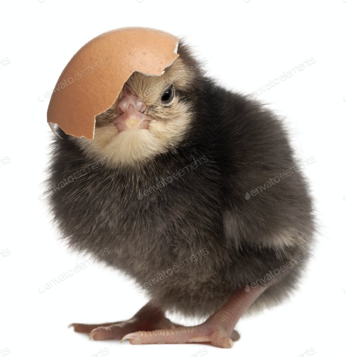 Chick, Gallus gallus domesticus, 3 days old, with eggshell in front of white background