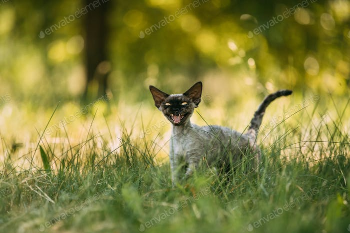 Funny Young Gray Devon Rex Kitten Meowing In Green Grass. Short-