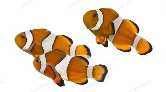 Group of Ocellaris clownfish, Amphiprion ocellaris, isolated on white