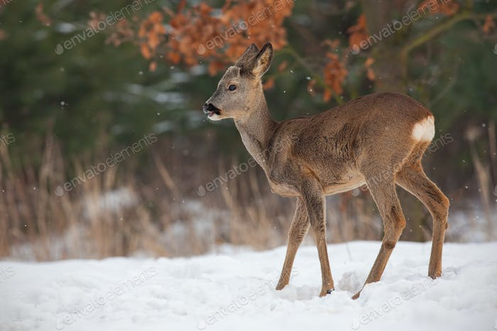 Young roe deer, capreolus capreolus, buck in deep snow in winter growing antlers