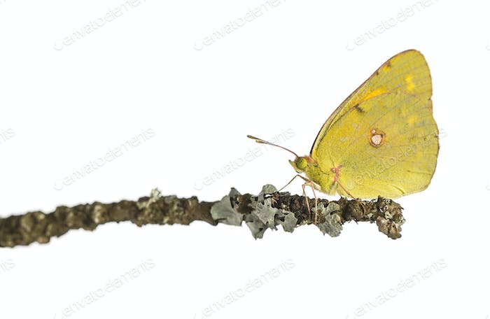 Side view of a Clouded Sulphur on a branch, Colias philodice, isolated on white