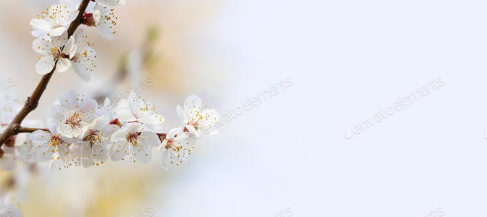 Springtime sunny day floral mockup with blooming white flowers fruit tree branch.