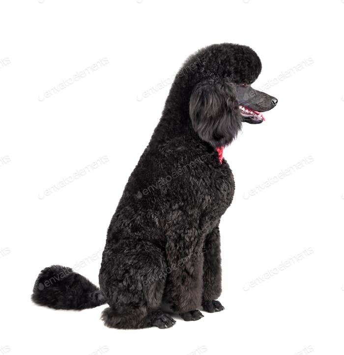 Royal black poodle