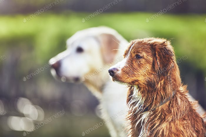 Two friendly dogs in summer nature