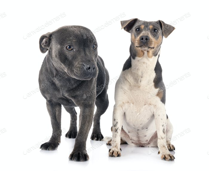 brazilian terrier and staffy