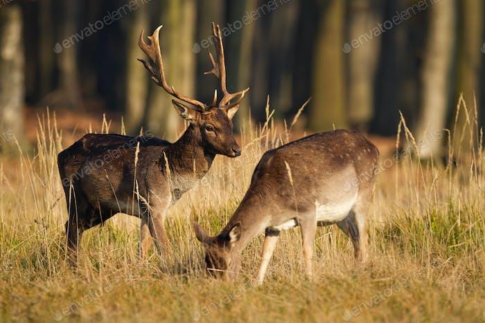 Couple of fallow deer grazing in forest in rutting season