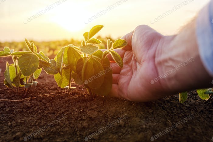 Agronomist checking small soybean plants in cultivated agricultu