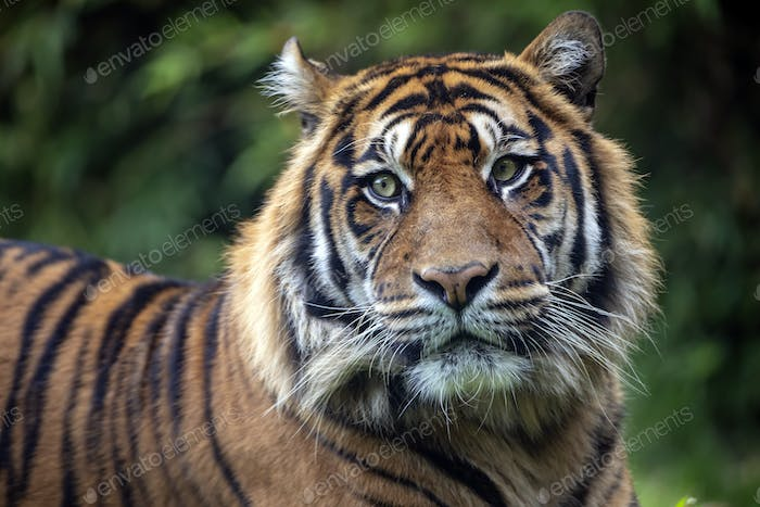 beautiful tiger on green natural background