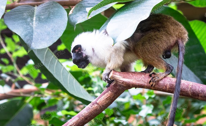 Pied Tamarin on a Tree Branch