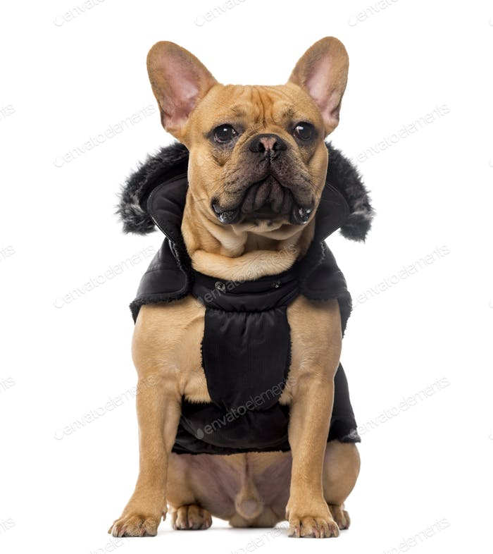French Bulldog wearing a coat in front of white background
