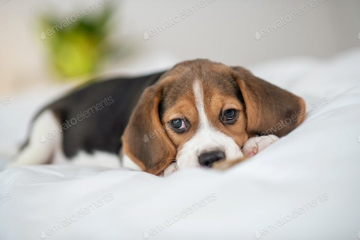 A cute beagle puppy lying on bed and looking sweet