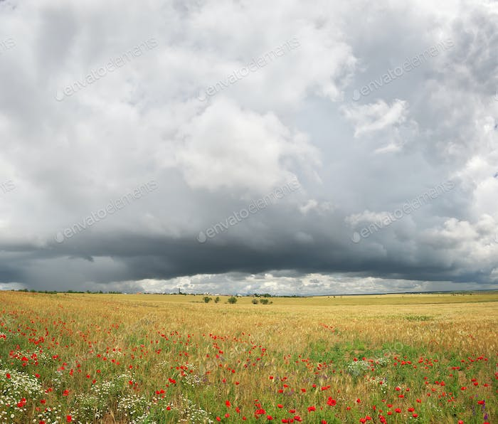 Panorama of wheat and poppy meadow.