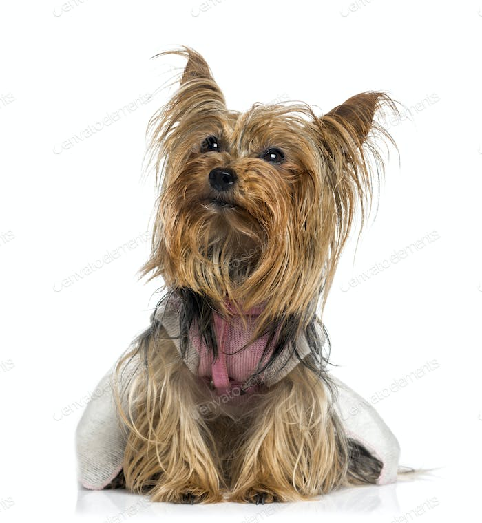 dressed Yorkshire Terrier looking up (5 years old)